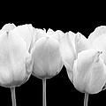 White Tulip Triple On Black by Gill Billington