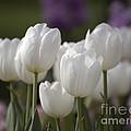 White Tulips 9169 by Terri Winkler