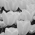 White Tulips B/w by Jennifer Ancker