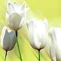 White Tulips by Ben and Raisa Gertsberg