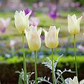 White Tulips In Parisian Garden by Brian Jannsen