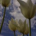 White Tulips by Jeffery L Bowers