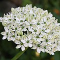 White Umbel by Christiane Schulze Art And Photography