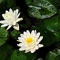 White Water Lilies by Christine Runchka