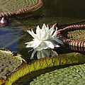 White Water Lily by Anita Adams
