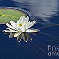 White Water Lily by Heiko Koehrer-Wagner