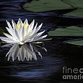 White Water Lily Left by Sabrina L Ryan