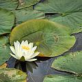 White Water Lily by Matt Dobson