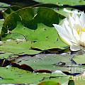 White Water Lily by Optical Playground By MP Ray