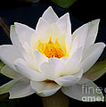 White Water Lily by Nina Ficur Feenan