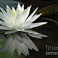 White Water Lily Reflections by Sabrina L Ryan