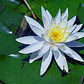White Water Lily by Robert J Sadler