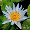 White Water Lily by Stephen Whalen