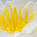 White Waterlily Detail by Matthias Hauser