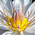 White Waterlily by Kaye Menner