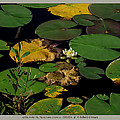 white waterlily - Nymphaea odorata - 09SE04 by Robert G Mears