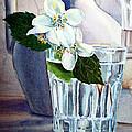 White White Jasmine  by Irina Sztukowski