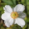 White Windflower by Nicole Newton