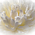 White Peony With A Dash Of Yellow by Sherman Perry