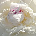 White With Red Peony by Addie Hocynec