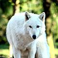 White Wolf by Nick Gustafson