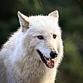 White Wolf Pant by Steve McKinzie