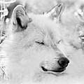 White Wolf Shut Eye by Athena Mckinzie