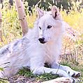 White Wolf Taking It Easy by Athena Mckinzie