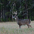 Whitetail Buck 1 by Todd Hostetter