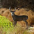 Whitetail Buck by Krista Wimmer