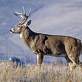 Whitetail Buck On A Ridge by Jack Bell