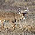 Whitetail Buck On The Move by Jack Bell
