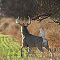 Whitetail Buck Rut by Krista Wimmer