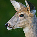 Whitetail Deer by Alan Hutchins