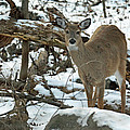 Whitetail Deer Doe In Snow by Mother Nature
