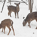 Whitetail Deer In Snowy Woods by Mother Nature