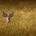 Whitetail Deer in Wheat Field by Tom Mc Nemar
