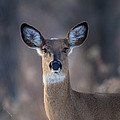 Whitetail Doe by Nathan Harker
