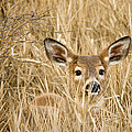 Whitetail In Weeds by Paul DeRocker