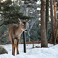 Whitetail In Woods by Linda Kerkau