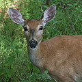 Whitetail Portrait In Valley Forge National Park by Ken Keener