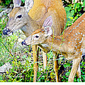 Whitetailed Deer Doe And Fawn by A Gurmankin