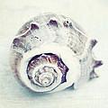 Whitewashed Seashell 92 by Christina Williams