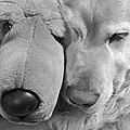 Who Has The Biggest Nose Golden Retriever Dog  by Jennie Marie Schell