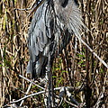 Who Is There - Great Blue Heron by Christiane Schulze Art And Photography