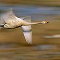 Whooper Swan Cygnus Cygnus Flying by Winfried Wisniewski