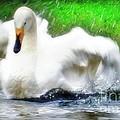 Whooper Swan Flutter by Susan Garren