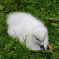 Whooper Swan Juvenile  by Christiane Schulze Art And Photography