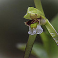 Whorled Pogonia by Jack R Perry