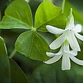 Whtie Clover Flower by Janice Sullivan